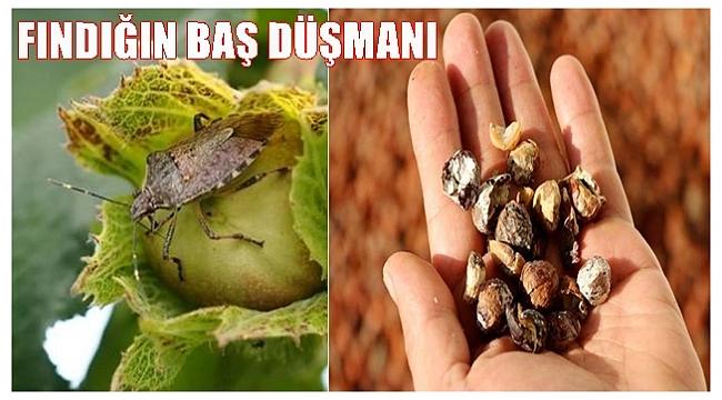Fındıkta Kahverengi Kokarca Tehditi