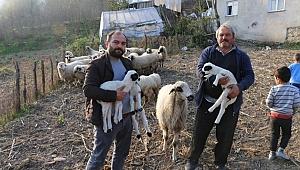 Damazlık koyun üçüz doğurdu