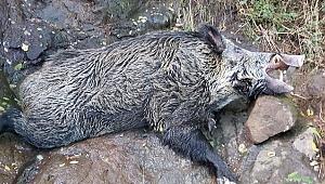 Yaban domuzu kesen 4 Gürcü vatandaşı yakalandı