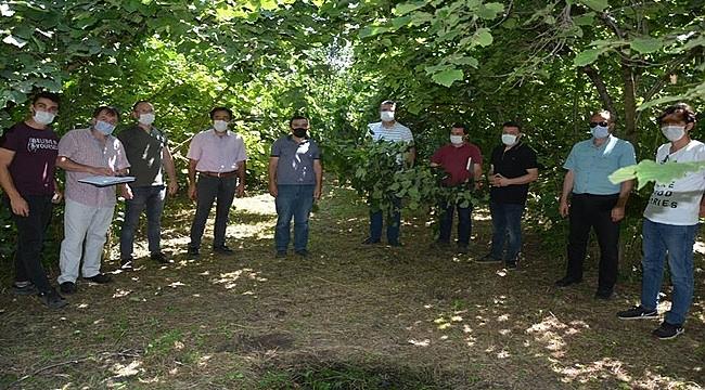 Ordu'da fındık rekoltesi için ekipler bahçeye girdi